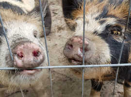 2 Lovely friendly 8 month genuine Kune Kune girls.
