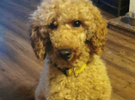 Red miniature KC poodle for Stud