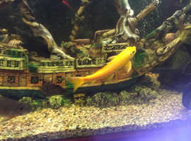 Golden Chinese loach