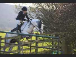 13.2hh fab coloured all rounder/ hunting mare