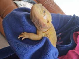 Citrus translucent bearded dragon with full setup