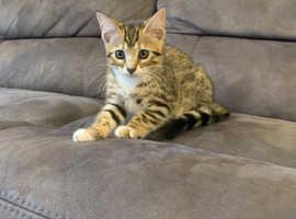 Male kitten 11 weeks