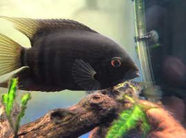 Green Severums for sale