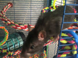 Free to good home MALE REX RATS 8 weeks old