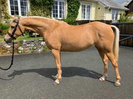 143cm Part Bred Arab / Show Pony