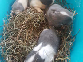 baby mini lop rabbits £35 each