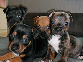 Beautiful staffy x Jack Russell puppies