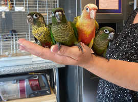 Beautiful hand reared baby conures