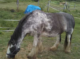 Cob mare unusual marked . project