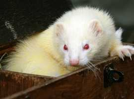 3 male ferrets for sale