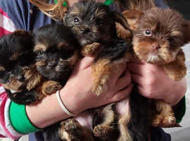 Colourful Yorkshire biewer terriers, vet checked, vaccinated