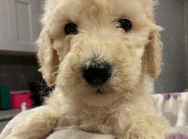 Ready Today!! Golden doodle puppies