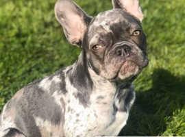 French bulldog merle