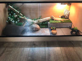 Selling adult female bearded dragon with high spec set up