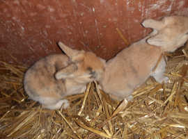 Two baby harlequin lionhead cross babys available
