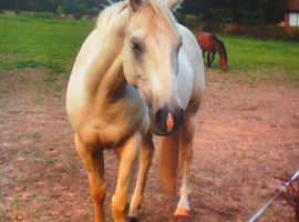American Quarter Horse 100% 15.3 stunning palomino AQHA papered