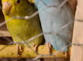 Parrolett breeding pairs for sale