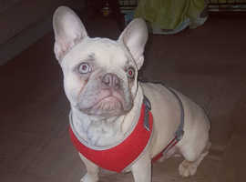 french bulldog male kc registered LILAC FAWN