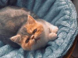 Exotic Persians, female kittens. Gccf registered.