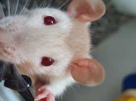 Two 4 month old rats.