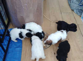 Shichon puppies  adorable babies