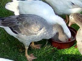 Pair of Rare Breed Pilgrim Geese