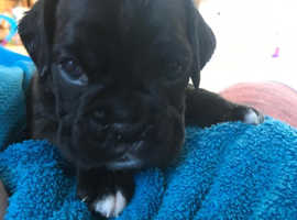 Beautiful boxer puppies - fantastic bloodlines