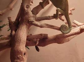 Stunning Yemen chameleons