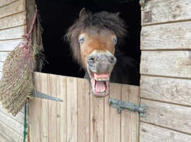 Nelly - Miniature Pony - Available for Loan at the end of October