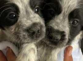Sprocker puppys for sale