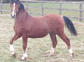 Registered yearling C colt