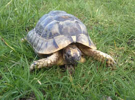 Male Spur Thighed tortoise