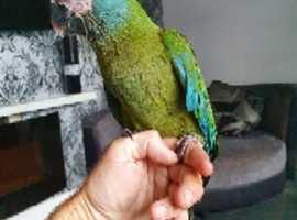 handreared blue headed macaw