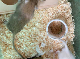2 boy gerbils with cage and accessories