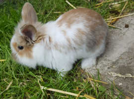 2 baby bunnies for sale