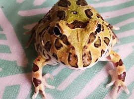 Pacman Argentine Horned Frog Juvenile