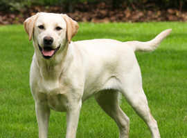 Labrador female wanted