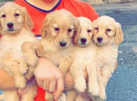 Pups F1 labradoodles puppies