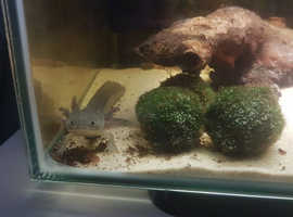 Fish Tank and Axolotl