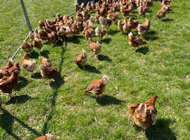 Hybred laying Hens for sale.