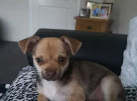 Chihuahua girl puppy for sale