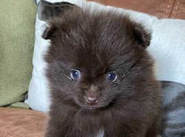 Kc Pomeranian boy
