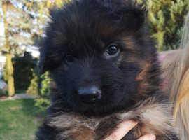 German Shepherd FCI puppies