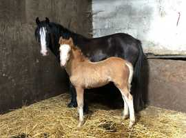 Stunning mare with blagdon foal at foot