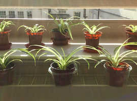 A Selection of Healthy Spider Plants all £1 each  Collect London Regent Street Monday to Friday