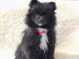 Pomeranian female puppy