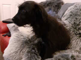 Terrier x collie puppies