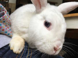 2 NZ white brothers, neutered and vaccinated, with run and food. £30