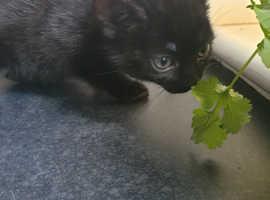 2 beautiful dark tabby kittens