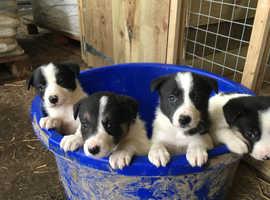 Playful border collie puppies